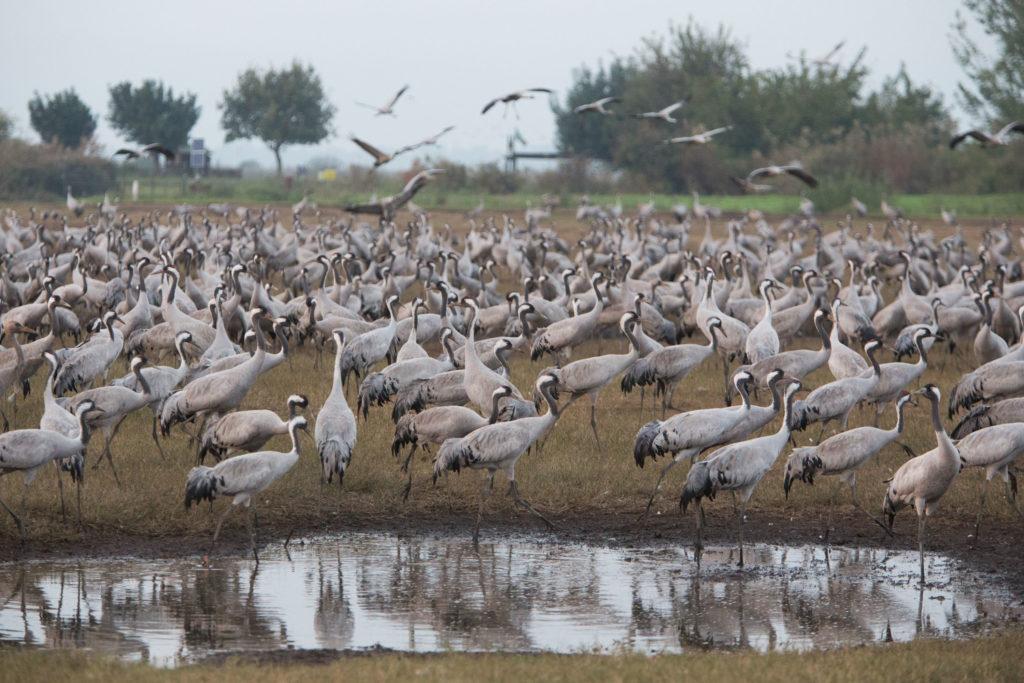 Wissenswertes über Israel - Die Faune des Landes. Jedes Jahr machen tausende Zugvögel in Israel Halt. Hier kehren Kraniche im Hula-Tal ein
