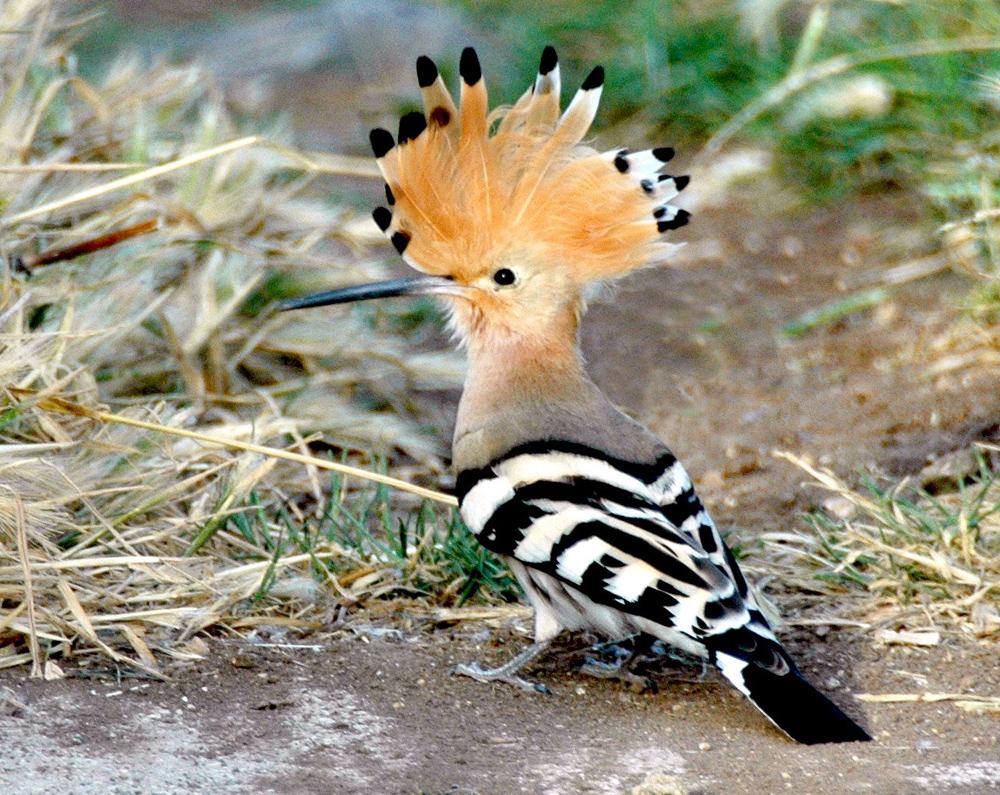 Wissenswertes über Israel - die Fauna. Der Wiedehopf wurde von der Bevölkerung zum Nationalvogel des Landes gewählt
