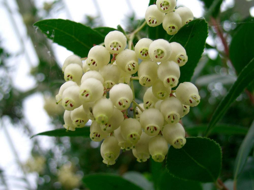 Erdbeerbaum - Blüte