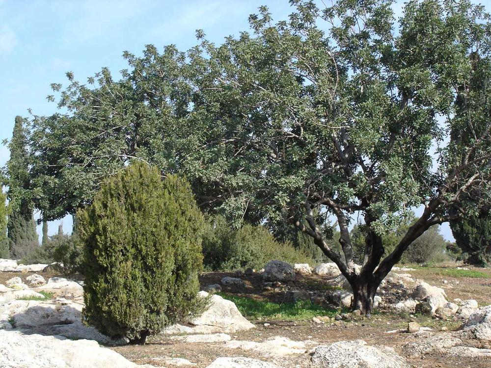 Olivenbaum Israel