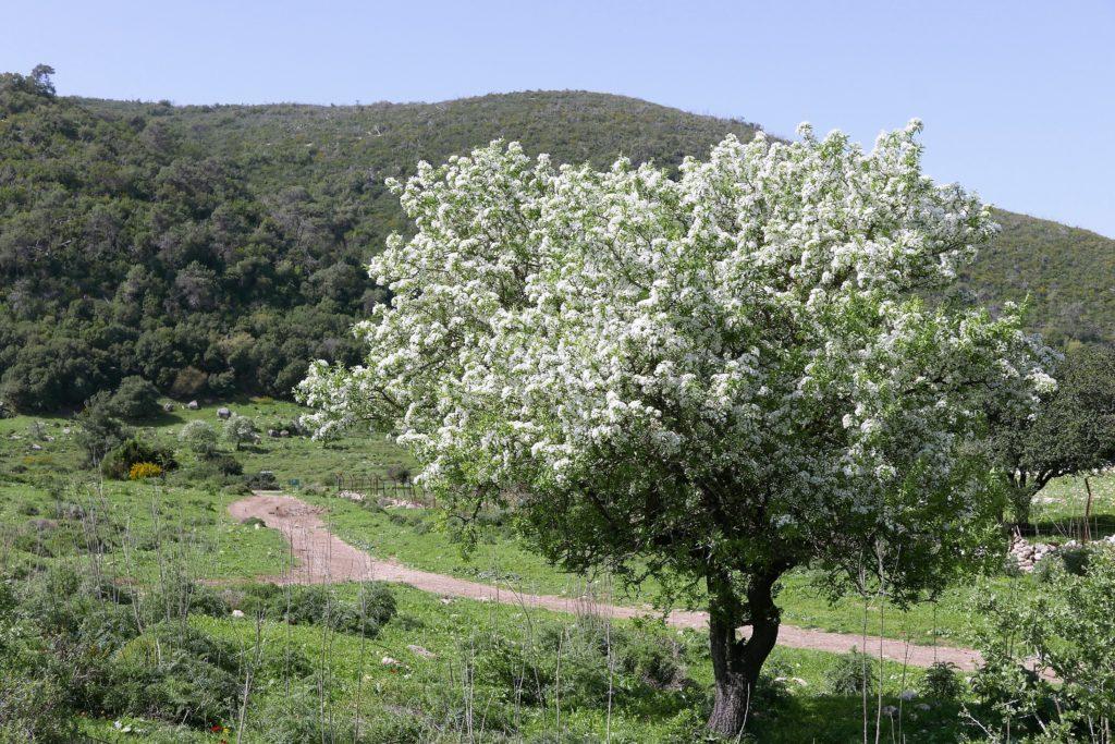 Blühender Baum Frühling Israel