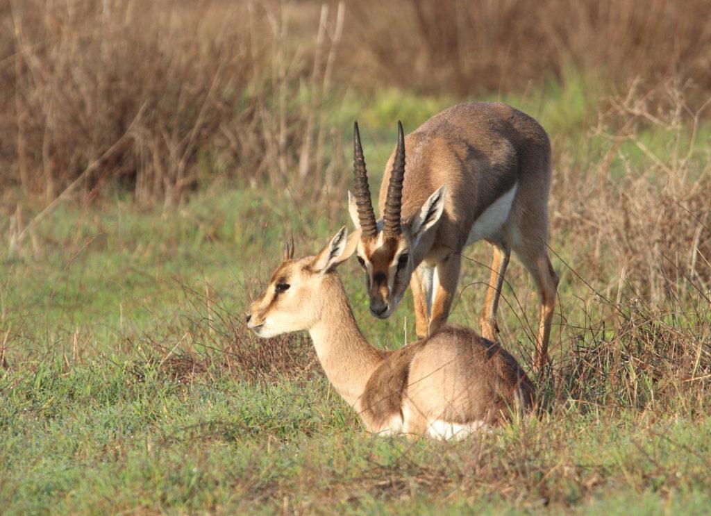 Wissenwertes über Israel - Die Fauna des Landes. Im Gazellenpark des JNF-KKL kann man die Tiere hautnah erleben