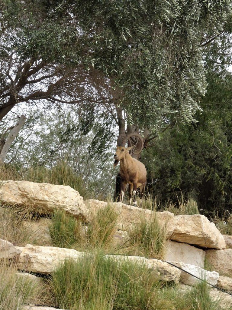 Wissenswertes über Israel - die Fauna des Landes. Der nubische Steinbock ist auch das Symboltier der israelischen Nationalparks