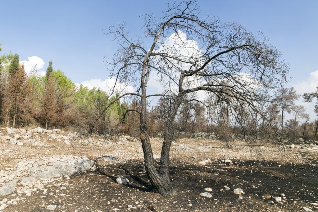 Verbrannter Baum in Ben Shemen