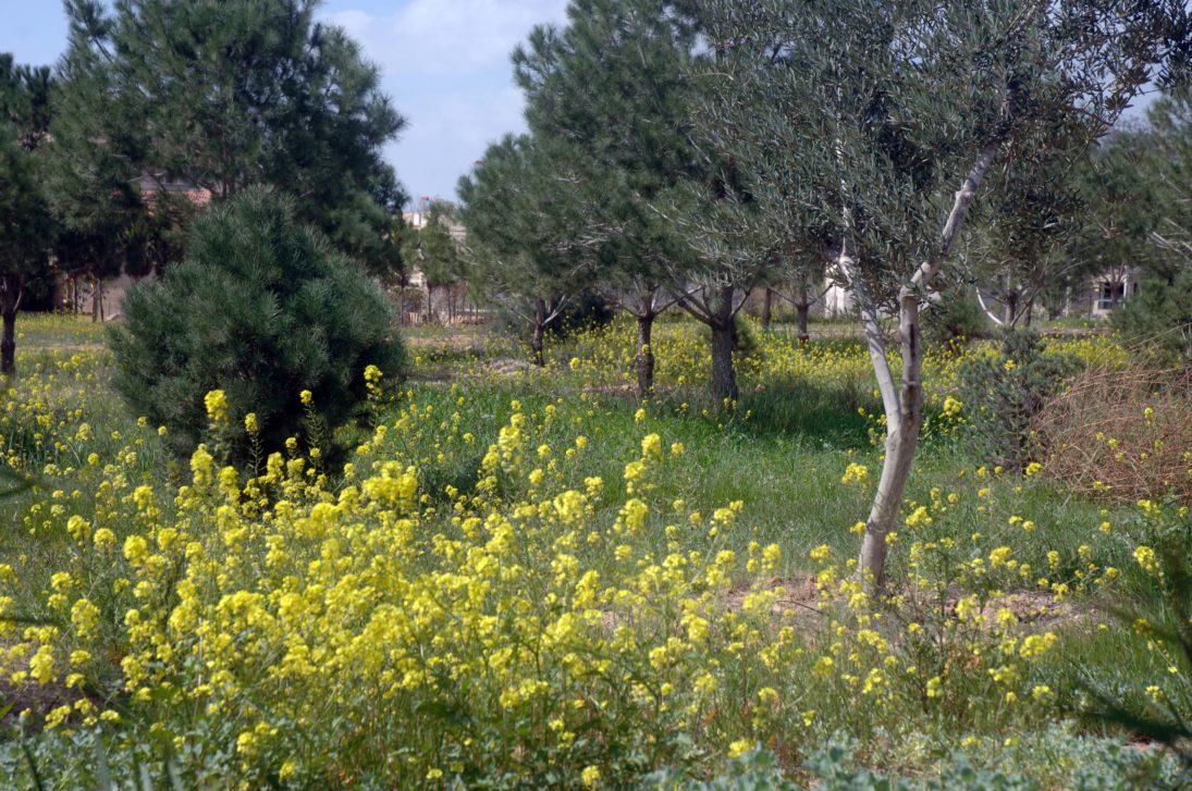 Langlebige Olivenbäume