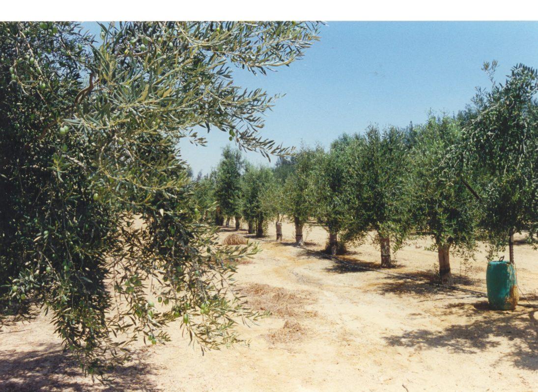 Baumschule Olivenbäume Israel