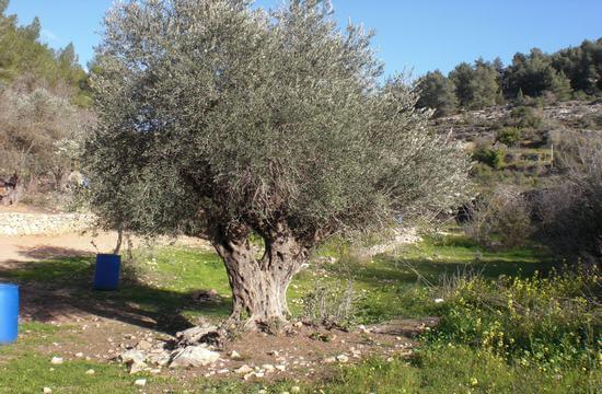 Alter Olivenbaum in Israel