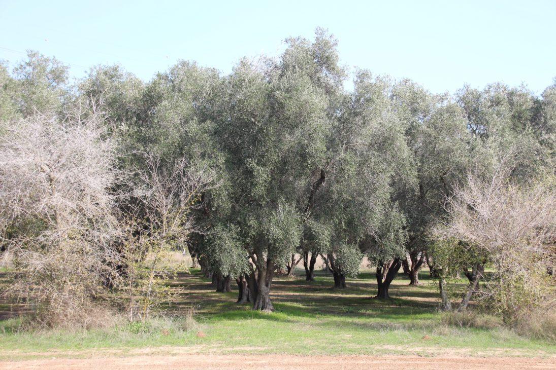 Olivenbaum-Park im Kibbutz Yad Mordechai