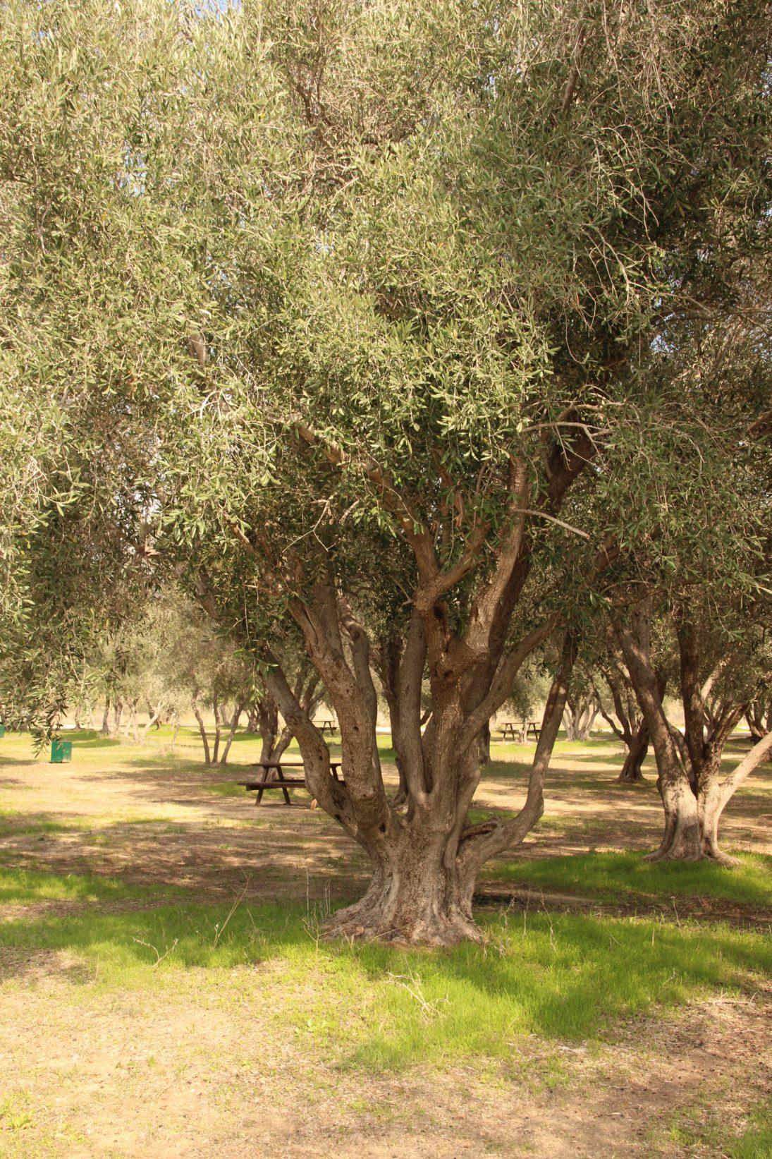 Olivenbaum im Kibbutz Yad Mordechai
