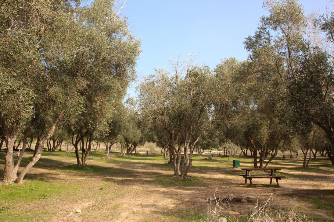 Ein Picknickplatz im Olivenbaum Park von Yad Mordechai