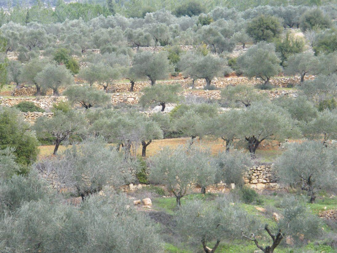 Olivenbäume in Israel