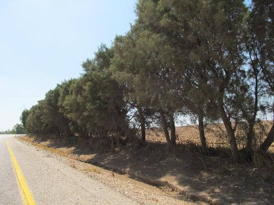 Schutzbäume an der Grenze zu Gaza